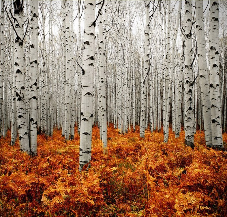Nature 43-Aspens, Colorado