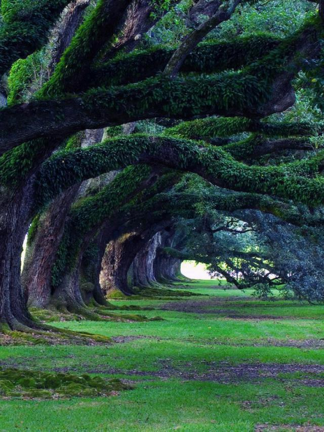 Nature 61-Oak Alley Plantation, Luisiana, USA