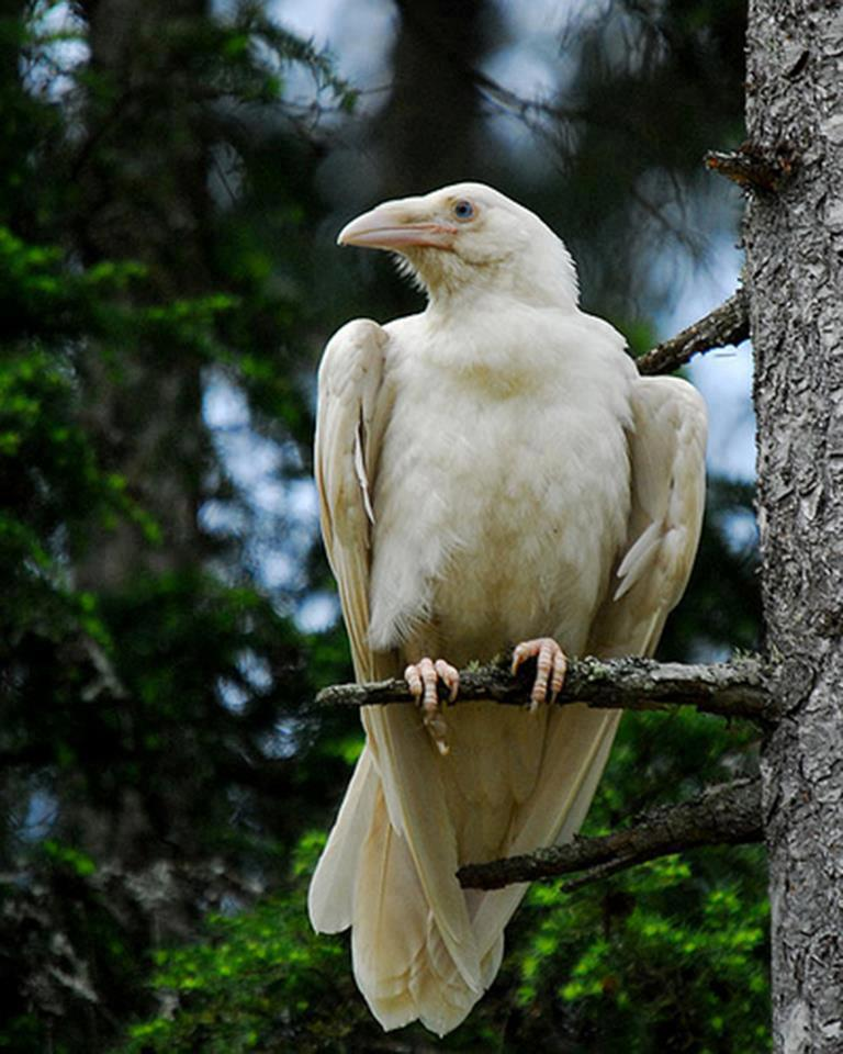 Nature 95-The extremely rare White Raven is sacred to the Celtic Goddess of Love Branwen