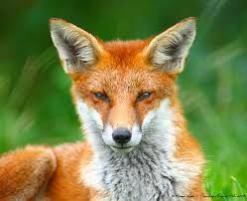 Η πονηρή αλεπού 2